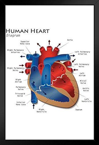 Anatomy Diagram Educational Chart Framed Poster 14x20 inch ()