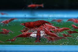 5 Fire Red Sakura Cherry Shrimp - Neocaridina davidi Live Freshwater Aquarium Shrimp - 1/2 - 3/4 inch long by SoShrimp