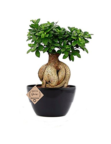 Abana Homes Ginseng Grafted Ficus Indoor Real Bonsai Live Plants – 5 Year Old