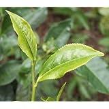 Tea Plant (Camellia Sinensis) Chinese Tea 20 Seeds