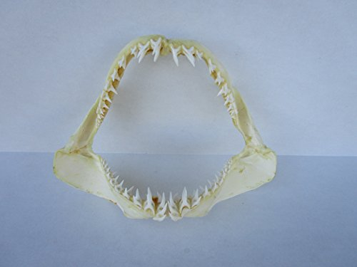 12 inch Mako Shark Jaw
