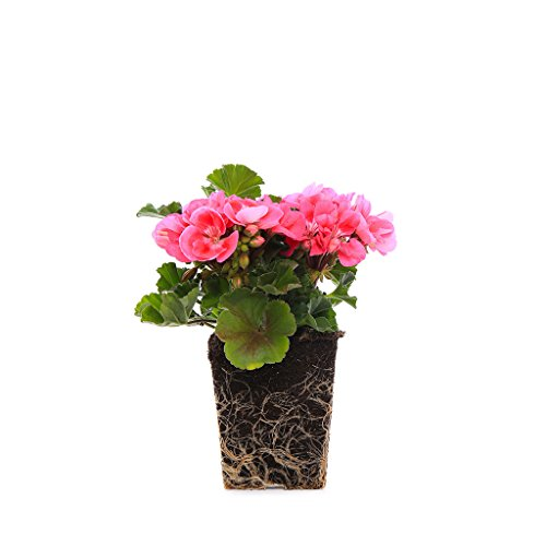 Plants by Post Quart 4in Geranium Live Pink, 4