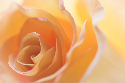 Yellow Roses II, Fine Art Photograph By: Kathy Mahan; One 36