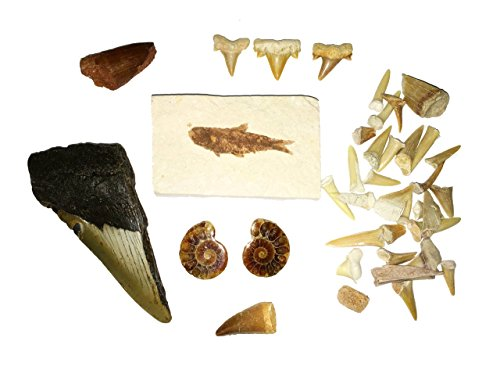 10 Piece Fossil Collection Gift Pack - All Genuine - Dino...