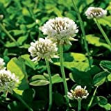 Outsidepride White Dutch Clover Seed: Nitro-Coated, Inoculated - 1/4 LBS