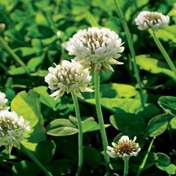 White Dutch Clover - Outsidepride White Dutch Clover Seed: Nitro-Coated, Inoculated - 5 LBS