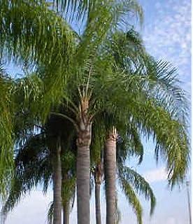 6 Live Queen Palm Tree   Syagrus Romanzoffiana Bare Root Seedling.
