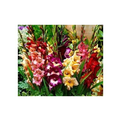 10 PCS Pretty Flowering Perenials, Dwarf Glamini Mixed Gladiolus, Sword Lily, Bulbs, Root, Plant, Great Spectacular Flower Heads : Garden & Outdoor