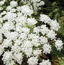 Herb Seeds - Dill White - 1000 Seeds