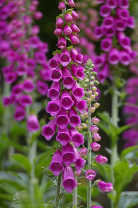 Seedeo Red Digitale Digitalis purpurea 200 graines