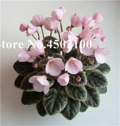 100 pcs African Mini Seeds Violet, Mixed Rare Flower for Garden Potted Perennial herb Indoor seedssplants Evening-Scented ()