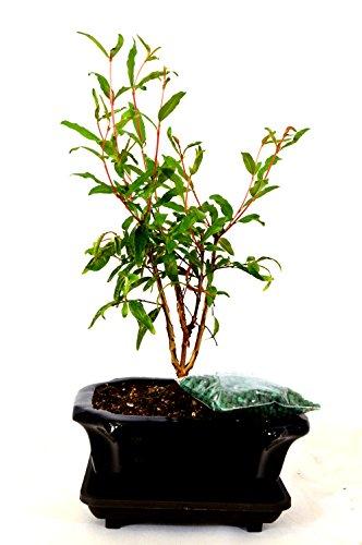 9GreenBox - Dwarf Pomegranate Mame Bonsai with Ceramic Pot by 9GreenBox.com