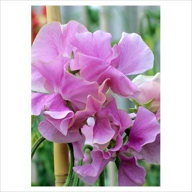 "(ASP)~""ETHEL GRACE"" SWEET PEA~Seeds!!!!!~~~~~~An English Beauty!"