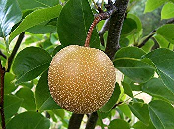15 Seeds Chinese Sand Pear, Sand Pear, Japanese Pear, Asian Pear, Oriental Pear, Chinese Pear Tree (Pyrus pyrifolia) Fruit ()