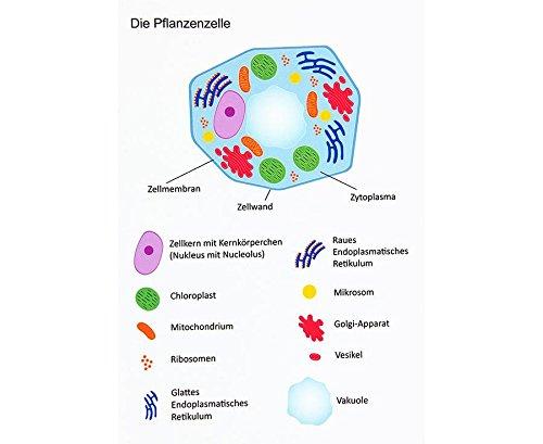 Betzold 89750 Magnetische Pflanzliche Zelle Aufbau Einer Zelle Tafelmaterial Für Biologieunterricht
