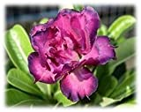 9GreenBox - Desert Rose Double Purple