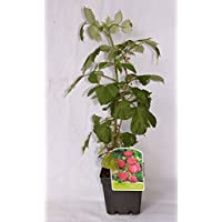 Frambuesa roja (maceta 2 litros) - Arbusto frutal