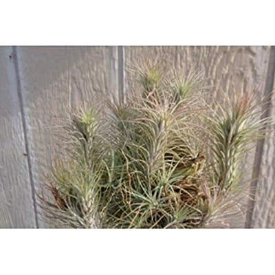 1 Air Plants Hanging Cluster Large Tillandsia Funkiana - CSR282 : Garden & Outdoor
