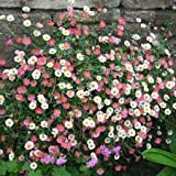 Erigeron Karvinskianus Profusion Seeds Perennial 50 Seeds