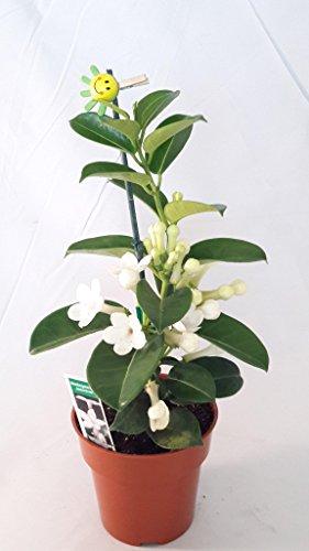 Madagascar Jasmine Plant - Stephanotis/Bridal Wreath - 4 ...