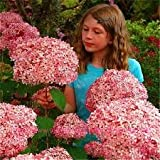 buy 100 PCS / Bag Exotic Onion Seeds Giant Allium Seeds Multicolor Balcony Potted Flowers Semillas De Flores now, new 2018-2017 bestseller, review and Photo, best price $3.22
