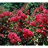 Tonto Crapemyrtle Tree - Live Plant Shipped 2 to 3 Feet Tall (No California)