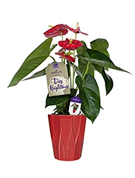Hallmark Flowers Happy Hearts Anthurium In 5-inch Red Ceramic Container 0