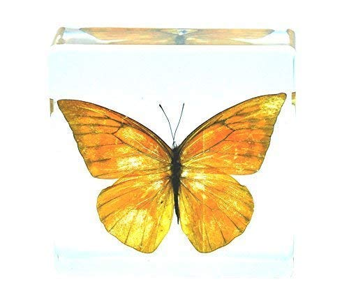 Real Nature Orange Albatross Butterfly Specimen Paperweight Insect Bug Collection Taxidermy(3x3x1)