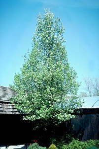 Cleveland Flowering Pear Tree - 2 Year Old ()