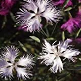 Outsidepride Dianthus Superbus White - 5000 Seeds