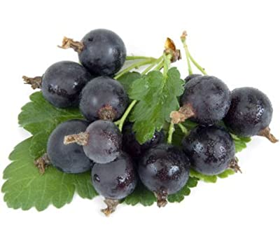 Josta Berry Plant -Ships Fully Rooted in Soil - 3 way gooseberry/Currant cross