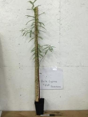 1 BALD CYPRESS TREE