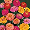 California Super Giant Zinnia Flower Mix 200+ Seeds