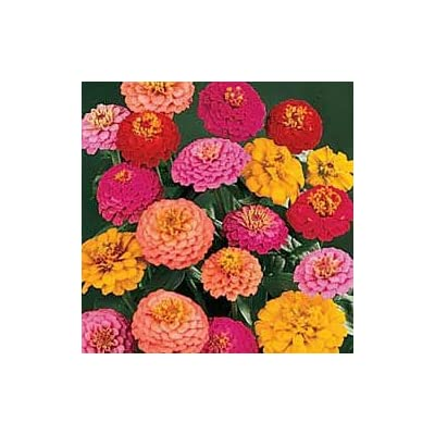 California Super Giant Zinnia Flower Mix 200+ Seeds : Flowering Plants : Garden & Outdoor