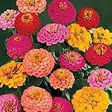 California Super Giant Zinnia Flower Mix 200+ Seeds