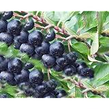 10 Stück Aronia prunifolia 'Nero' - (Apfelbeere 'Nero')- 8-12 cm Topfware
