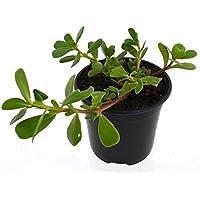 Verdolaga Planta Natural Pequeña Con Maceta - Planta Aromática y Culinaria