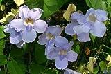 Laurel Clock Vine Seed Rare Thunbergia laurifolia