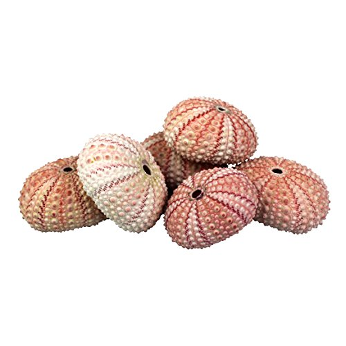NW Wholesaler Natural Sea Urchin Shells for Home Decor, Beach Decor, Terrariums, Air Plants, Arts & Crafts (Bundle of 6, Pink)