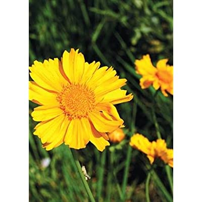 Lance Leaved Coreopsis (Coreopsis lanceolata), Seed Packet, True Native Seed : Flowering Plants : Garden & Outdoor