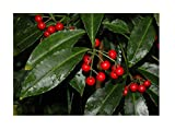 Plants Seeds Coral Berry ardisia crenata Organic 20 Fresh Seeds