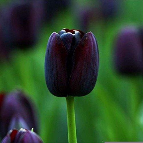- TelDen Perennials Rare Rainbow Tulip Flower Bulbs Seeds Spring Bloom Home Garden Decor(Black Queen)