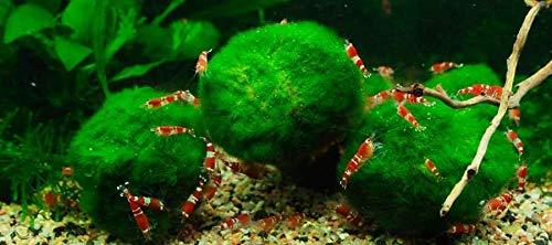 Pack of 3 - Moss Ball Marimo 1'' - 1.5'' Shrimp APF Live Aquarium Plants Easy by SS0156