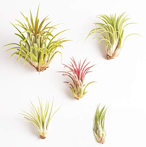 Shop Succulents Live Ionantha Hand Selected Variety 5 Pack Now $11.99 (Was $19.99)