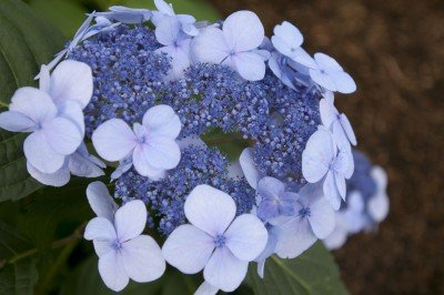 3 Gallon - Endless Summer Twist-n-Shout Hydrangea - Re-blooming Lace-cap flowers that range from pink to Blue depending on pH