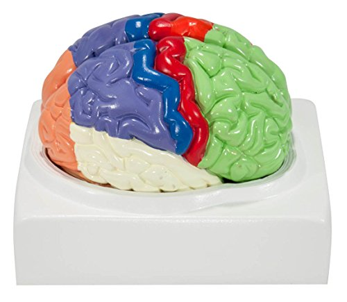 axis-scientific-human-brain-with-labeled-brain-regions-life-size-includes-colorful-product-manual-st