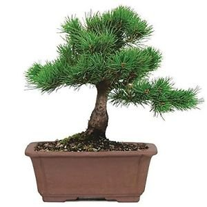 Bonsai Tree Japanese Five Needle Pine Plant 5 Years Tray Outodor Bset Gift ()