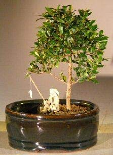 Bonsai Boy's Flowering Brush Cherry Bonsai Tree Water Land Container - Small eugenia myrtifolia by Bonsai Boy