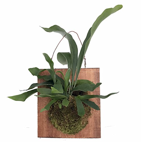 (Large Live Staghorn Fern Mounted - Great Houseplant -10