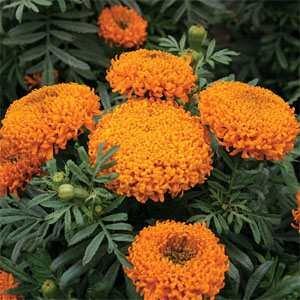 Outsidepride Marigold Orange - 1000 Seeds